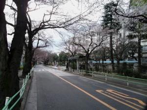 sakura_namiki