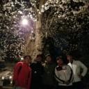 津田山霊園桜画像